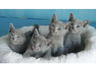Russian Blue kittens available for sale