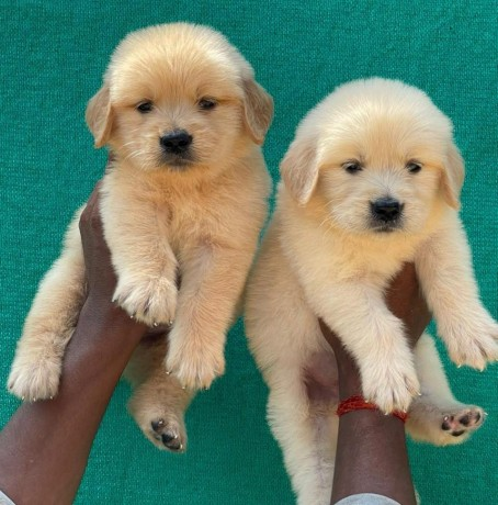 we-have-cute-and-adorable-golden-retriever-puppies-available-for-adoption-big-0