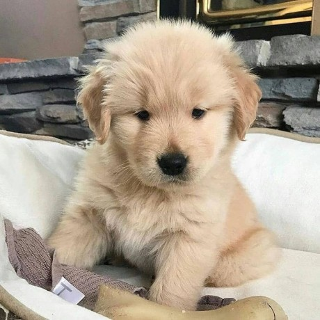 we-have-cute-and-adorable-golden-retriever-puppies-available-for-adoption-big-4