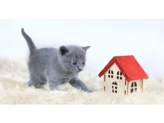 Russian Blue Kittens for sale now for sales
