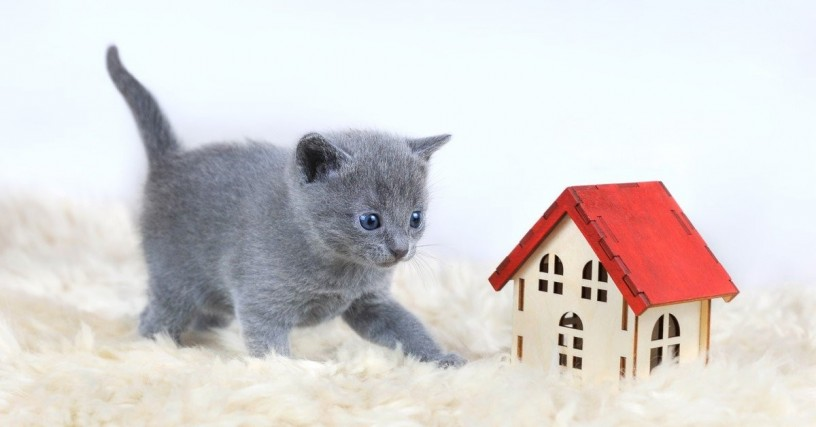 russian-blue-kittens-for-sale-now-for-sales-big-0