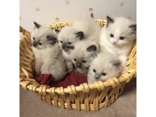 Adorable ragdoll Kittens available now