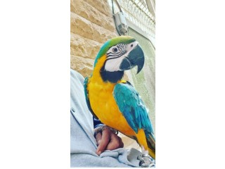 Macaws Parrots for new homes