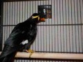 mynah-bird-ready-now-for-good-homes-small-0