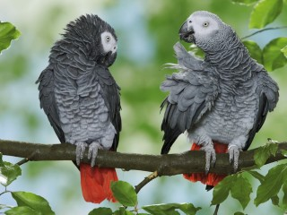 Great Pairs of African grey parrots