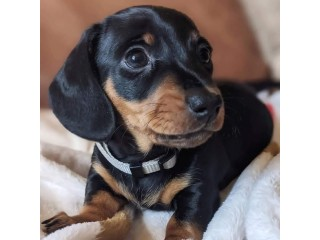 3 males and 2 femes dachshund puppies