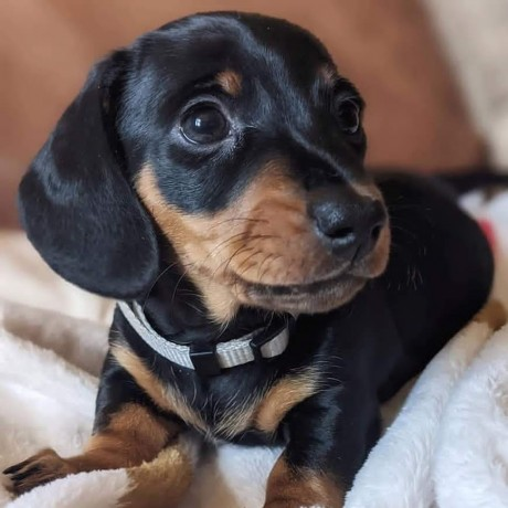 3-males-and-2-femes-dachshund-puppies-big-0