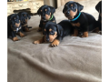 3-males-and-2-femes-dachshund-puppies-small-0