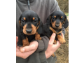 but-males-and-females-dachshund-puppies-small-0