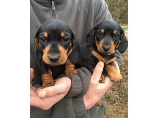 But males and females dachshund puppies