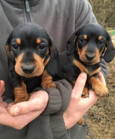 but-males-and-females-dachshund-puppies-big-0