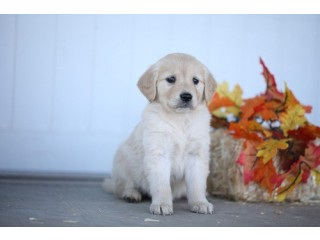 Loveable golden retriever  puppies now available  for loving homes only