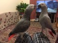 african-grey-parrot-available-for-sale-now-small-0
