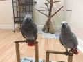 african-grey-parrot-available-for-sale-now-small-1