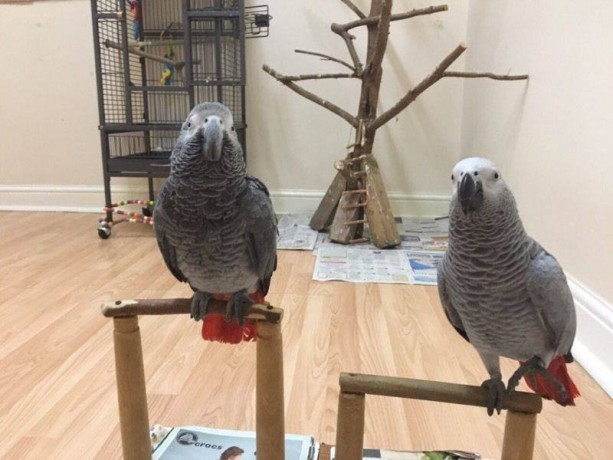 african-grey-parrot-available-for-sale-now-big-1