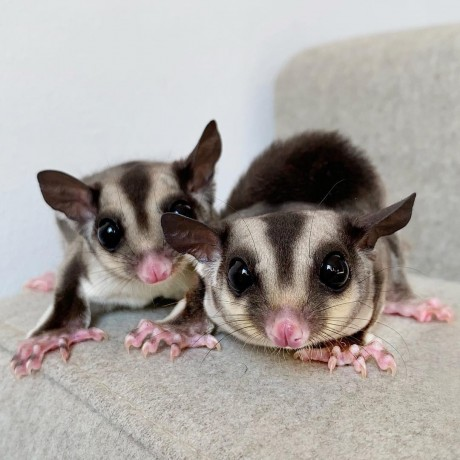 sugar-gliders-for-adoption-and-rehoming-big-3