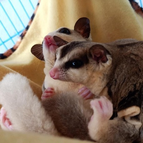 sugar-gliders-for-adoption-and-rehoming-big-2