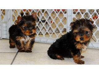 AKC registered puppies for adoption