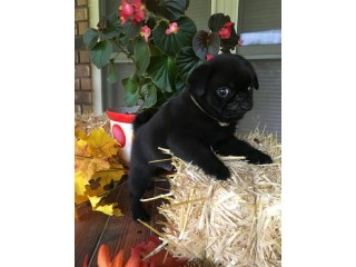 Black and Fawn pug puppies ready now