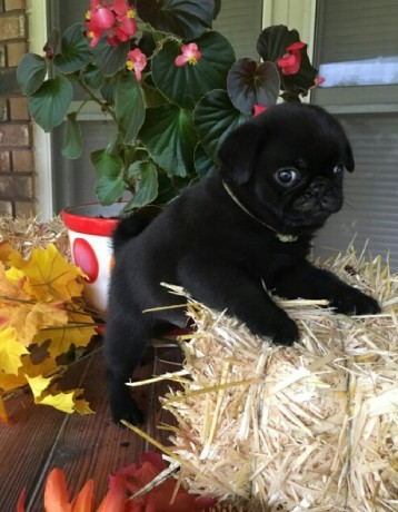 black-and-fawn-pug-puppies-ready-now-big-0
