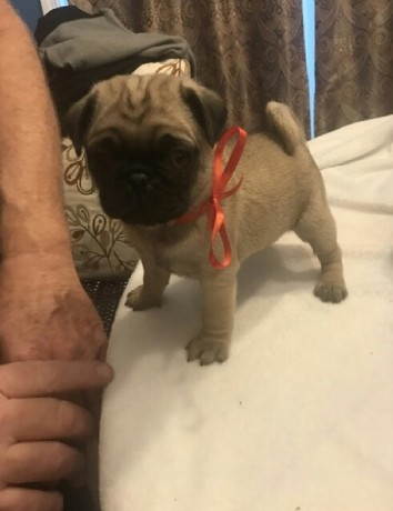 black-and-fawn-pug-puppies-ready-now-big-1
