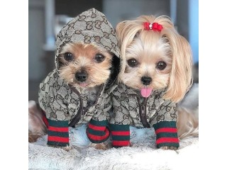 Adorable yorkie puppies for pet lovers