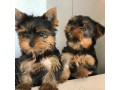 lovely-yorkshire-terriers-small-1