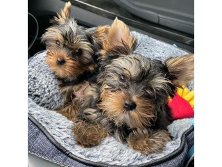 Lovely Yorkshire Terriers
