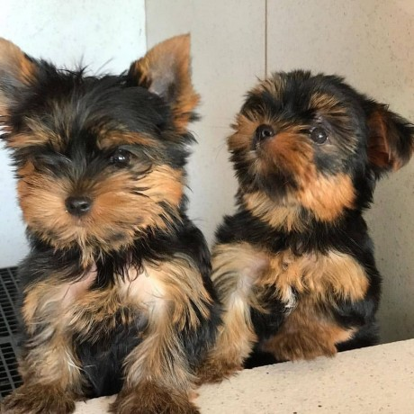 lovely-yorkshire-terriers-big-1