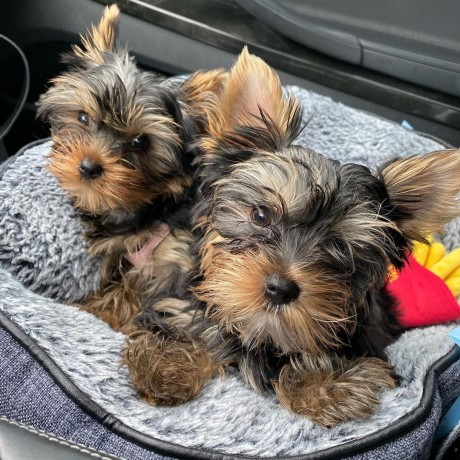 lovely-yorkshire-terriers-big-0
