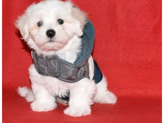 Beautiful Maltipoo Puppies ready now