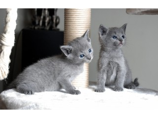 Russian Blue Kittens for sale now