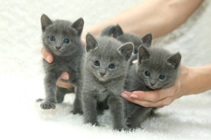 russian-blue-kittens-for-sale-big-0