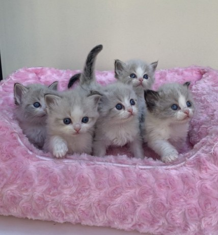 ragdoll-kittens-available-now-to-go-big-0