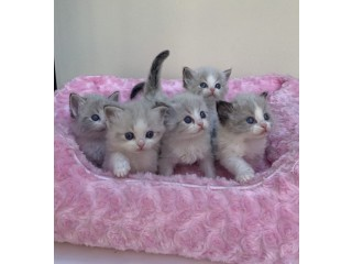 Ragdoll Kittens available now to go