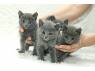 Russian Blue Kittens ready to go