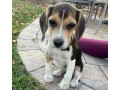 beagle-puppies-for-sale-small-0