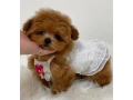 maltipoo-puppies-for-sale-small-0