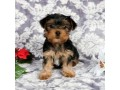 lovable-yorkshire-terrier-for-sale-small-1