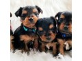 lovable-yorkshire-terrier-for-sale-small-2