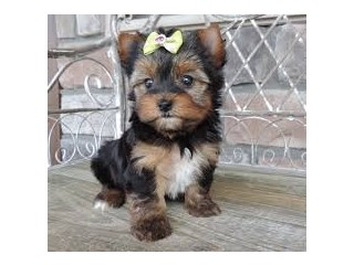 Yorkie Puppies available here