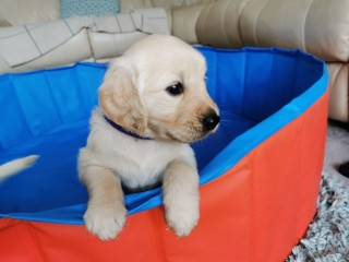 Golden retriever puppies for sale here