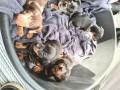 dachshund-puppies-available-small-3