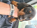 dachshund-puppies-available-small-2
