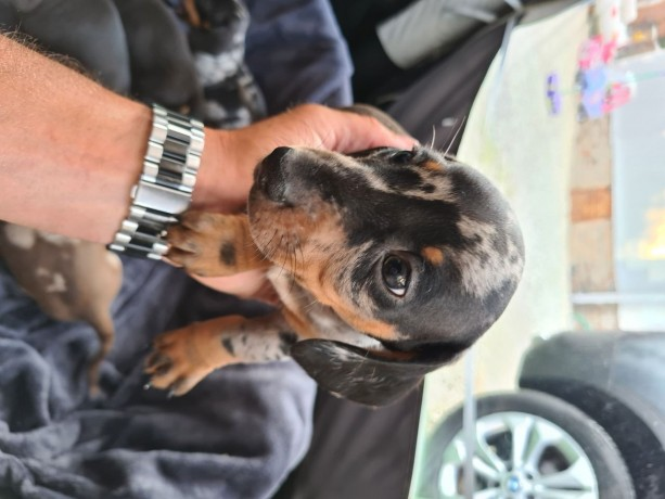 dachshund-puppies-available-big-0