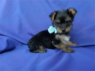 Teacup Yorkie puppies available now