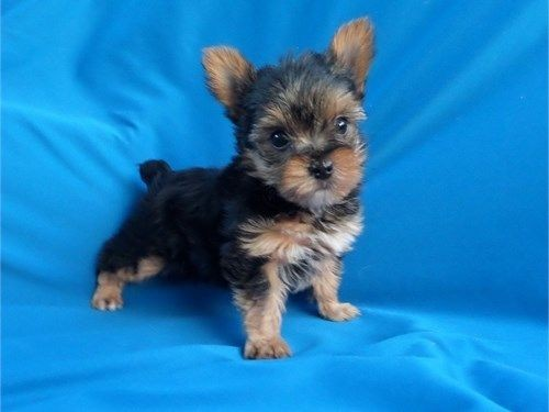 teacup-yorkie-puppies-available-now-big-2