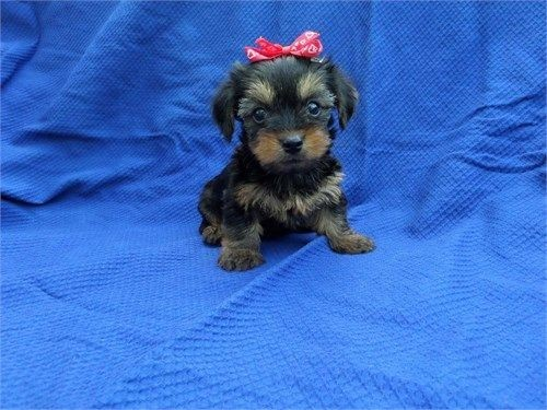 teacup-yorkie-puppies-available-now-big-3