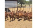 for-selling-kalahari-red-goats-small-1