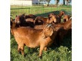for-selling-kalahari-red-goats-small-0